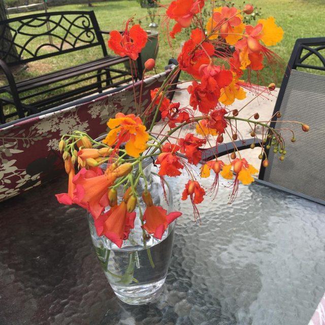 Pride of Barbados clippings garden gulfcoastliving southeasttexas gardening simonpearce vase