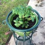 A new patio tomato plant awaits true springtime