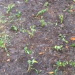 Newly planted periwinkle plants
