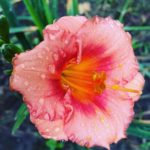 Pink day lily blossom