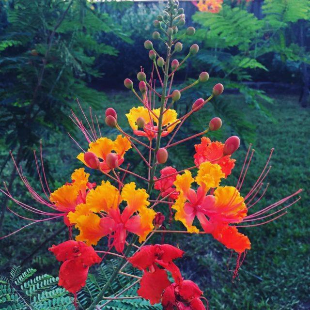 I love Pride of Barbados It just makes me happyhellip